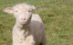 Cormo Sheep