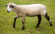 CVM/Romeldale Sheep
