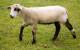 CVM/Romeldale Sheep